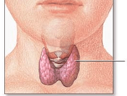 What's the Thyroid gland?