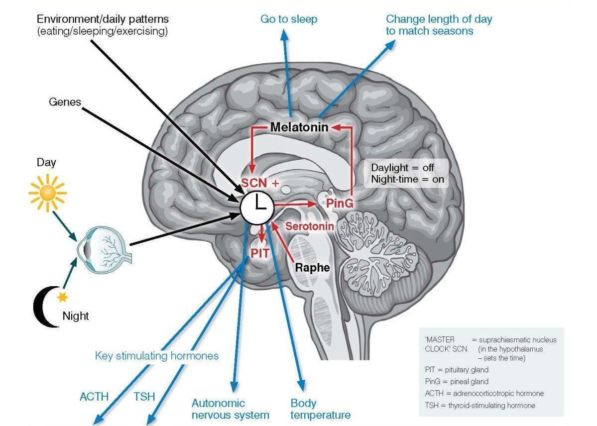 How to develop a healthy circadian rhythm