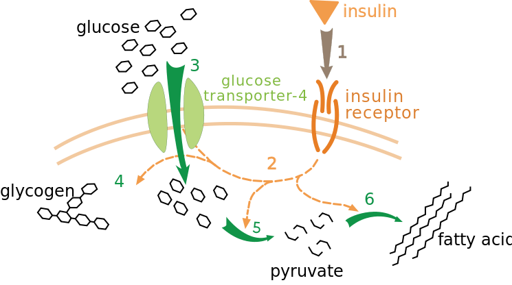 What is Insulin & How Does It Work?