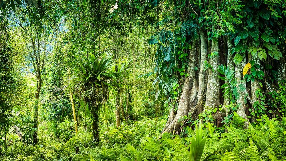 Banyan Tree Bark is useful remedy for diabetes