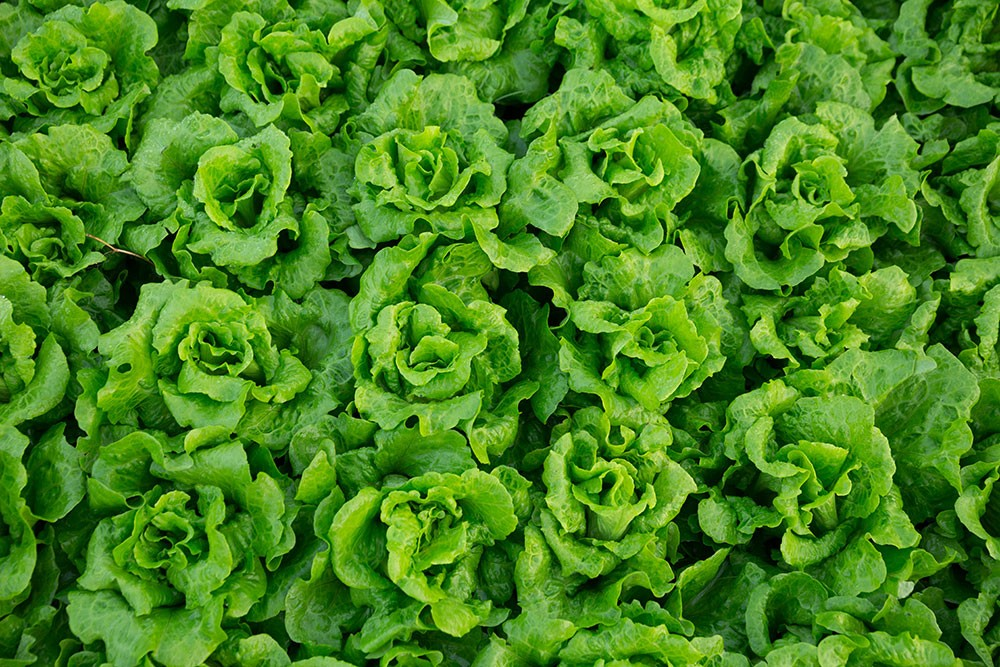the diabetic patient should eat plenty of lettuce. These have a low glycemic index and thus helps to lower your blood sugar level